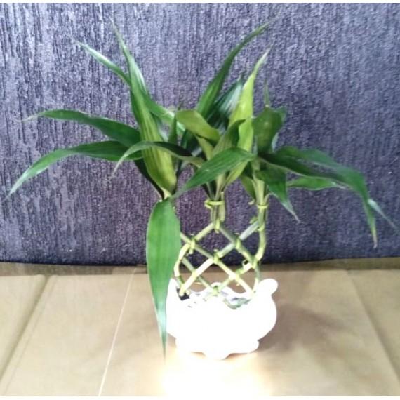 Bambu da Sorte Pequeno