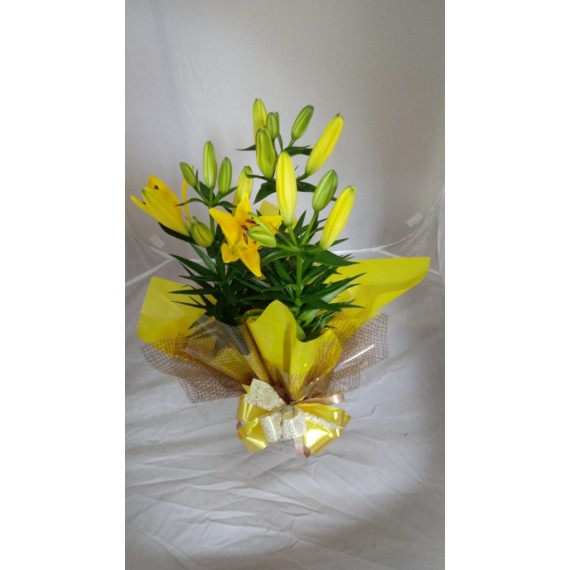 lirio Amarelo