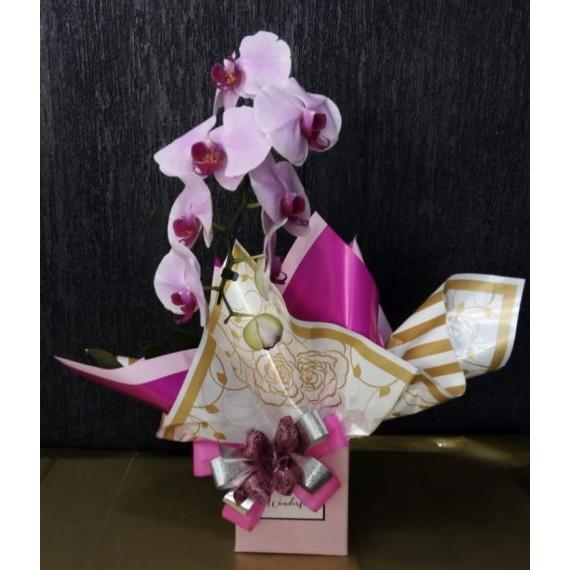 OrquídeaCascata Phalaenopsis 1 haste